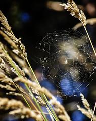 PACIFIC NORTHWEST 06 (Detective Steve) Tags: seattle plant nature grass bokeh web spiderweb pacificnorthwest natureycrap