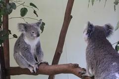 Koala (picadilly) Tags: bear park cute animal sydney australia koala australien tierpark featherdale