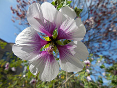 spring flower 1 (kenjet) Tags: pink white flower petals spring flora pretty purple petal