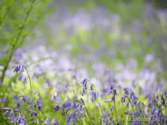 Bluebell Bokeh (amipal) Tags: uk greatbritain flowers england nature bluebells garden sussex unitedkingdom gb nationaltrust nymans