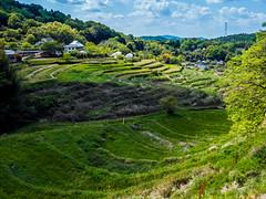 PhoTones Works #6724 (TAKUMA KIMURA) Tags: nature field japan landscape scenery village rice air terraces crop  agriculture   okayama kimura   takuma  a01       mimasaka ueyama photones