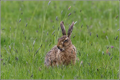 It's tiring being a hare... (Smudge 9000) Tags: kent spring wildlife 2015 nnr brownhare elmley