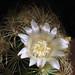 Flores entre espinas  * Mammillaria elongata