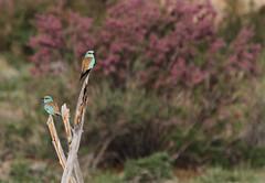 European Rollers (Wild Chroma) Tags: birds roller garrulus kazakhstan coraciasgarrulus ramosissima naturetrek tamarix coracias tamarixramosissima nonpasserines shonzhy
