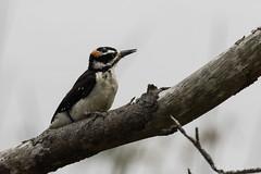 Hairy Woodpecker (Bob Gunderson) Tags: sanfrancisco california birds northerncalifornia woodpeckers boathouse lakemerced hairywoodpecker picoidesvillosus canoneos7dmarkii
