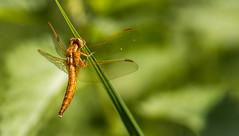 Feuerlibelle (Crocothemis erythraea) (Delbrücker) Tags: macro nature animal insect dragonfly bokeh outdoor natur makro libelle insekt tier nikkor105 nikond610