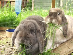 Charles and Thumper (rjmiller1807) Tags: bunny bunnies may bun oxfordshire kaninchen rspca lop harwell 2015 giantrabbits rehoming