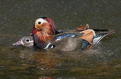 Mandarin F#ck (Ger Bosma) Tags: male water female swimming duck ducks mating drake mandarinduck coupling aixgalericulata mandarins mandarinente mandarijneend canardmandarin patomandarn patomandarim anatramandarina  2mg102986