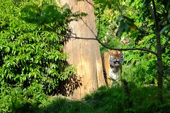Tiger Woods (benfelt) Tags: wild nature animal forest zoo fuji tiger tigre sauvage xt1 xf56