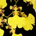 Oncidium flexuosum – Lisa Humphreys