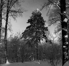 Snowy frosty forest (Alexis2k) Tags: trees winter blackandwhite bw sunlight snow tree nature pine forest frost outdoor spruce     frostandsun  frostandsnow  canoneos1200d
