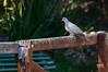 Tórtola turca (Streptopelia decaocto. Frivaldszky, 1838) (EcoFoco juanma.coria) Tags: españa naturaleza fauna aves otoño extremadura coria valledelalagón parquedecadenetas tórtolaturcastreptopeliadecaoctofrivaldszky1838