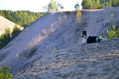 DSC_1666T (juliannahiaasen) Tags: portrait dog pet dogs animal training photography bordercollie australianshepherd dogphotography dogtraining dogportrait dogphotographer