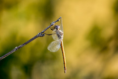 Dragonfly (sostenesmonteiro) Tags: nature insect nikon dragonfly natureza insects libelula inseto insetos d5200 sostenesmonteiro totecmt
