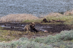 Far off Grizzly Bear (chasingthewildoutdoors) Tags: bear wild nature animal canon mammal outdoors wildlife sigma yellowstone grizzly