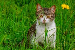 Kitty (Sergio '75) Tags: pet naturaleza green nature sergio cat canon natur naturallight natura erba gatto gatti canonef70200mmf4lisusm canoneos70d canon70d sergio75