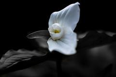 000_8437_1 (claudinelauzon) Tags: flower macro fleur clair obscur