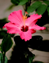 Proud Hibiscus (Noel C. Hankamer) Tags: flowers red summer plant flower color nature floral beautiful beauty garden outdoors leaf flora pretty heaven close natural blossom hibiscus single tropical bloom blooming