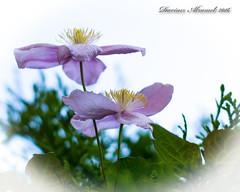 Delicacy. (Dariusz A. - Poland) Tags: white plant flower garden 50mm nikon background g clematis nikkor f18 afs swm d7100