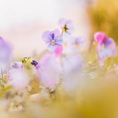 Flora (snegiri.bird) Tags: flowers summer macro green nature grass spring flora