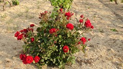 Flowers (Verlink) Tags: flowers red roses france flower color nature colors rose nice village cannes sttropez azur nofilter ramatuelle