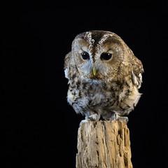 Tawny Owl (ToriAndrewsPhotography) Tags: studio photography andrews tori tawny