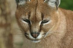 Caracal (charliejb) Tags: cat fur zoo feline wildlife caracal exmoor northdevon 2016 exmoorzoo
