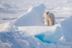 Polar Bear (fascinationwildlife) Tags: ocean bear sea wild summer snow ice nature animal norway mammal wildlife natur north arctic pack polar predator spitsbergen br drift eisbr spitzbergen