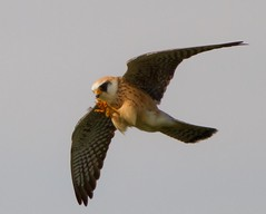 Red Footed Falcon Female Essex (kc.carol66661) Tags: elements