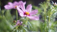 Porst55 (5)a (SeppoU) Tags: plant flower macro closeup sony may experiment makro kasvi 2016 kukka toukokuu kokeilu lhikuva