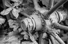 Wheel (& Leaves) (DomiKetu) Tags: blackandwhite bw white black film monochrome mono blackwhite nikon trix f100 nikonf100 romania analogue sibiu selfdeveloped bttb pan400 homemadesoup blackwhitephotos muzeullocomotivelorcuabur barrythorntons2bathdeveloper steamenginesmuseum