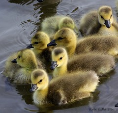 5-4-16 (232) Waiting!!  (Explored 5-23-16) (KatieKal) Tags: california lake water yellow spring babies gosling canadiangeese waterdroplets canon60d canon70300mmlens