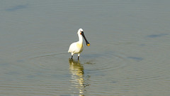 Lepelaar (kees torn) Tags: vogels florafauna nieuwewaterweg hoekvanholland lepelaar