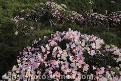 Hehuanshan Alpine Rhododendron in Full Bloom (*dans) Tags: mountain flower flora rhododendron  tarokonationalpark hehuan  hehuanshan    alpinerhododendron  hehuanshanalpinerhododendron
