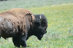 """Bison up close and personal • <a style=""""font-size:0.8em;"""" href=""""http://www.flickr.com/photos/75865141@N03/27375508570/"""" target=""""_blank"""">View on Flickr</a>"""