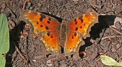 CAC038457a (jerryoldenettel) Tags: butterfly insect nm comma 2016 nymphalidae polygonia hoarycomma polygoniagracilis nymphalinae cibolaco zunimountains hausnercanyon