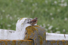 Linotte mlodieuse - Linaria cannabina - Common Linnet (Guillaume F.) Tags: commonlinnet linottemlodieuse linariacannabina