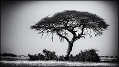 _SG_2016_05_Namibia_0027_IMG_0755 (_SG_) Tags: auto africa park trip tree water car nationalpark wasser solitude desert hole national afrika giraffe ausflug namibia herd baum strauch etosha watering wateringhole 2016 einde giraffen etoshanationalpark standpost wasserstelle etoshapark giraffenherde giraffesherd