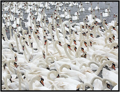 Abbotsbury (CliveDodd) Tags: abbotsbury swannery mute swan cygnus olor