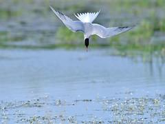 Common Tern (vause_gary) Tags: fishing diving tern sternahirundo