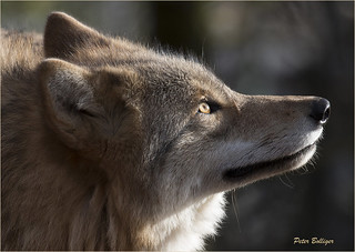 Profil of a mongolian wolf