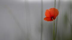 Comfort during rainy days (nikjanssen) Tags: flower dof bokeh poppy comfort m12 troost explored ausjena vintagelenses cartzeissjenapancolar1850