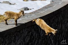 Un salto nel Vuoto (Andrea Moraschetti Photography) Tags: park wild italy mountains alps nature animal animals wildlife ngc natura alpine ibex adamello vallecamonica parcoadamello