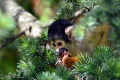 Samiri - Saimiri sciureus (jenny' pix) Tags: animals zoo monkey squirrel animaux primates saimiri samiri sciureus