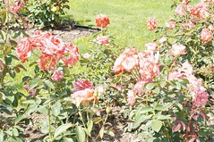 11028350_10153099670577076_838114403155378310_o (jmac33208) Tags: park new york roses rose garden central schenectady