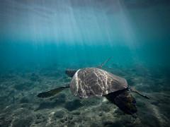 Kanaapali Turtle (akarakoc) Tags: light sunlight shoot underwater snorkel turtle scuba diving snorkeling hero scubadiving gopro hero4