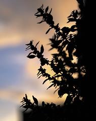 Evening light (Chris A M) Tags: sunset plants colour hampshire portchester
