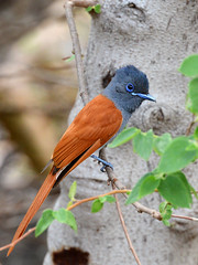 Papa-moscas-do-paraso // African Paradise-Flycatcher (http://jvverde.birdsby.me/v2/) Tags: africa wild bird nature birds natural wildlife natureza birding pssaro aves ave namibia pssaros oiseau bir vogel pjaro avifauna uccello birdwatch selvagem  lintu frica wildbird    africanparadiseflycatcher terpsiphoneviridis madr     nambia onwild emliberdade papamoscasdoparaso aoarlivre  papamoscasafricano erongowildernesslodge nanatureza terpsiphoneviridisplumbeiceps papamoscaafricano uccelloaves  africanparadiseflycatcherafricanparadiseflycatcherafricanparadiseflycatchergrayheadedparadiseflycatchergrayheadedparadiseflycatchergreyheadedparadiseflycatchergreyheadedparadiseflycatcherparadiseflycatcherparadiseflyca