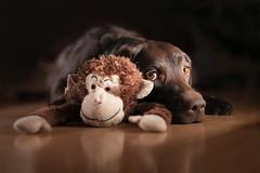 Best Friends (Tomas.Kral) Tags: lighting friends dog brown cute canon puppy studio toy 50mm monkey diy lab labrador 12 strobe speedlite strobist yongnuo 5dmarkii yn560ii