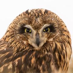 Short-eared Owl - Asio flammeus - Brandugla (*Jonina*) Tags: iceland ísland laugar birds fuglar shortearedowl asioflammeus brandugla jónínaguðrúnóskarsdóttir 2500views 25faves